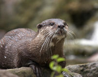 Wild Otter. A close-up shot of an endangered wild Otter in it's natural habitat Stock Photo