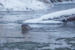 Wild otter crossing cold river in winter close-up. Animals in winter stock photography