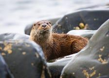 Wild Otter (Lutra lutra) Stock Photo