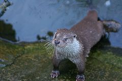 Wild otter in the river  Stock Photography