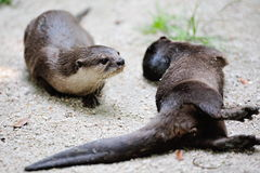 Wild otters Stock Photo