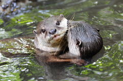 Wild otters hugging Royalty Free Stock Photo