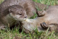 Wild otters playing. Affectionate river animal pair social bonding. Wild otters playing. Affectionate river animal pair social bonding activity. Beautiful royalty free stock photo
