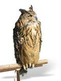 Wild owl Stock Images