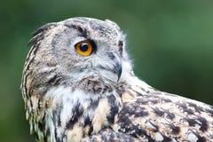 Wild owl Stock Image