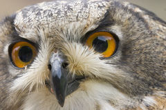 Wild owl. Stare of the wild owl Royalty Free Stock Images
