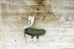 Wild owl in captivity Stock Images
