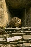 Wild owl in castle wall Stock Image