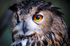Wild owl closeup Stock Photography