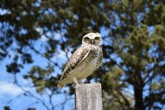 Wild owl in its natural habitat in nature royalty free stock photography