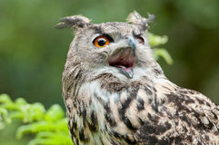 Wild owl with open beak Stock Photos