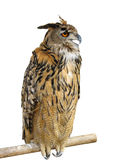 Wild owl sitting on a wooden support Stock Photos