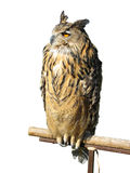 Wild owl sitting on a wooden support Royalty Free Stock Photos
