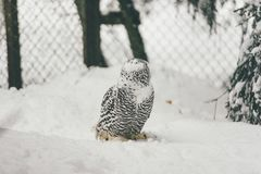 Wild owl in snow forest. Close up image of a barred owl, in the wild, perched on a tree limb stock photography