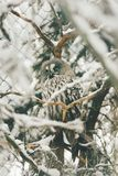 Wild owl in snow forest. Close up image of a barred owl, in the wild, perched on a tree limb royalty free stock images