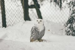Wild owl in snow forest. Close up image of a barred owl, in the wild, perched on a tree limb stock photos