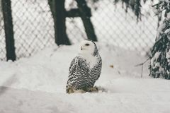 Wild owl in snow forest. Close up image of a barred owl, in the wild, perched on a tree limb royalty free stock photos