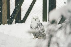 Wild owl in snow forest royalty free stock photos