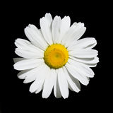 Wild Oxeye Daisy on Black Stock Photos