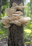 Wild oyster mushrooms. Bunch of fresh wild oyster mushrooms on a tree royalty free stock photos