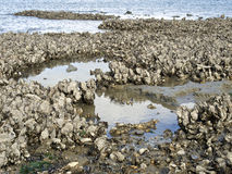 Wild oysters. A lot of wild oysters, called Creuses, growing on stones at the coast of the Netherlands Stock Image