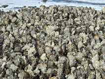 Wild oysters. A lot of wild oysters, called Creuses, growing at the coast. They are a speciality in the seafood restaurants Royalty Free Stock Photo