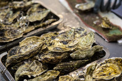 Wild Oysters Stock Photography