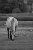 Wild paard Royalty-vrije Stock Foto's