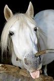 Wild paard Royalty-vrije Stock Afbeelding