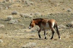 Wild paard Royalty-vrije Stock Foto