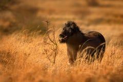Wild paard Stock Afbeelding