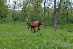 Wild paard in bos Stock Afbeeldingen