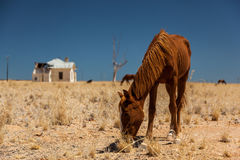 Wild paard dichtbij aus Stock Foto