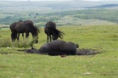 Wild paard die in de modder, vuil rollen Stock Afbeeldingen