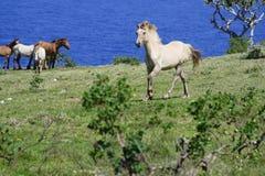 Wild paard eau Tonga Royalty-vrije Stock Foto