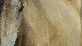 Wild paard, Geschilderd Mustang dicht omhoog van mooi blauw oog Dayton, Nevada stock foto's