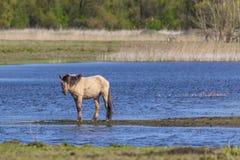 Wild paard in het Moerasland Royalty-vrije Stock Afbeeldingen