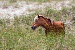 Wild paard op Duin Stock Foto's