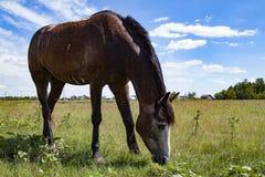 Wild paard op een perfect gebied Royalty-vrije Stock Afbeelding