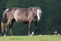 Wild paard op het gebied stock afbeelding