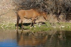 Wild paard in Rivier wordt weerspiegeld die Royalty-vrije Stock Afbeelding