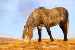 Wild paard weidend gras Royalty-vrije Stock Foto