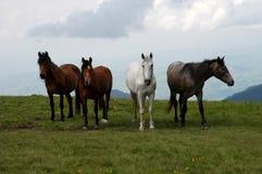 Wild paarden Stock Fotografie