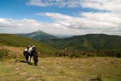 Wild paarden in Baskisch Land, Frankrijk Stock Afbeelding