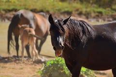 Wild paarden bij een vijver op een hete de zomerdag Stock Foto