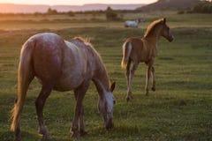 Wild paarden bij zonsondergang Stock Afbeelding