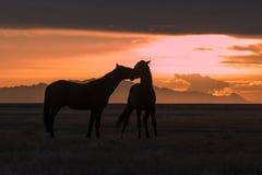 Wild paarden bij Zonsondergang in de Woestijn worden gesilhouetteerd die royalty-vrije stock afbeeldingen