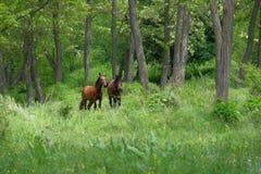 Wild paarden in bos Royalty-vrije Stock Fotografie