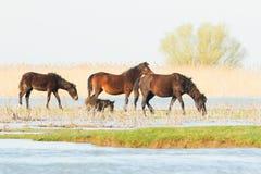 Wild paarden in de Delta van Donau, Roemenië Stock Foto
