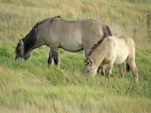 Wild paarden in de steppe Royalty-vrije Stock Foto's